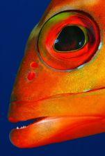 Baszk kalapos sügér portréja Dahabban az amforáknál fémdobozok is találhatóak, amit nagyon szeretnek a halak. Egy ilyen fémdoboz oldalán pihent a képen látható sügér. Nagyon kényelmetlen pozícióból lehetett csak így megfotózni.