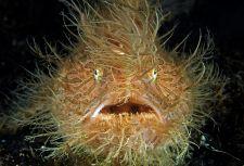 Torzonborz A szőrös békahalat a villanófény leplezi le, egyébként észrevétlenül rejtőzik a homályban korallok és algák között. Ha éhes, hátúszójának feregszerű  nyúlványát rázogatva csalogatja a kishalakat.