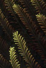 Tengerililiom A tüskésbőrűek közé tartozó tengerililiom pillás karjai egyszerűen csak szépek, harmonikusak. (Maluku-tenger)