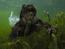 Godzilla Március végén a forrástavacskát szerelemre éhes termetes varangyok vették birtokukba, amelyek mindenre rárontottak, ami megmozdult, így a víz alatti fényképezőgépemre is.