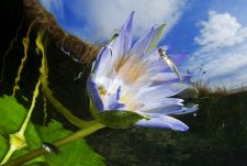 Virág Érdekes fotózás volt, szárazruhában uszony nélkül 30 centiméteres mélységben. De nem a mélység, hanem az eredmény számít! :-)