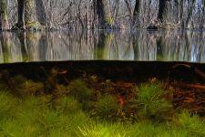 Égerláp Március végén egyszer olyan tiszta vizet találtam az égerláp még alvó fái körül,  hogy a felszín alá is bepillanthattam. A barna, humuszos fenéken már növekedni kezdtek a békaliliom üde zöld hajtásai.