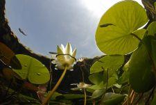 Tündérrózsás Langyos vizű forrás táplálta vizekben nemcsak a szúnyogirtó fogaspontyok érzik jól magukat, de tavasztól őszig virágzik a fehér tündérrózsa.